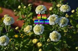 [幸福植物園]杭菊(白)