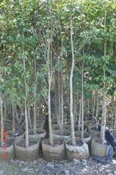 ╭*田尾玫瑰園*╯【奇楠沉香成樹】-可作成香及中藥材.品質好的沉香稀少且價格高昂種