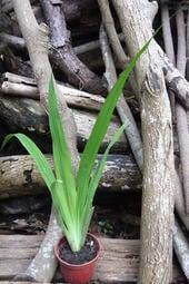 (專區內任選3件100元)黃花巴西鳶尾 三吋盆 園土盆栽 自然農法 未曾施藥