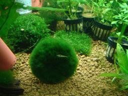 ◎◎水草爆缸◎◎綠藻球(綠球藻)3~4cm(陰性草)