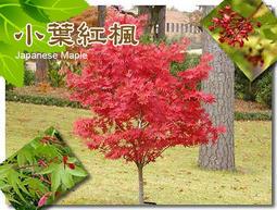 日本紅楓、盆栽、種子、稀有小葉品種【振華育苗-挑戰網路最低價】
