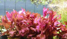 ◎◎水草爆缸◎◎紅蝴蝶