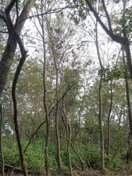 ╭*田尾玫瑰園*╯優良造林樹種-(台灣櫸-雞油)米徑10cm土球5000元