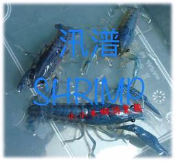 【汛潽觀賞蝦繁殖場】藍螯 /佛螯