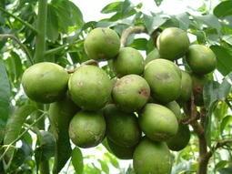 盈昇花果園~莎梨橄欖(學名:太平洋溫勃)另類橄欖果實45-35元