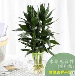 雜貨賣場&富貴竹水培植物轉運竹室內開運竹綠植水養花卉辦公室盆栽觀音竹