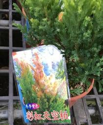 一禪種苗園-一年四季變顏色<彩虹天空柏>綠化盆栽-5吋盆