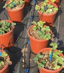 草莓栽種DIY滴劍定時自動滴灌套裝~保證技術輔導建構完成/自動定時滴灌 自動定時噴灌 自動定時澆水 自動定時澆花